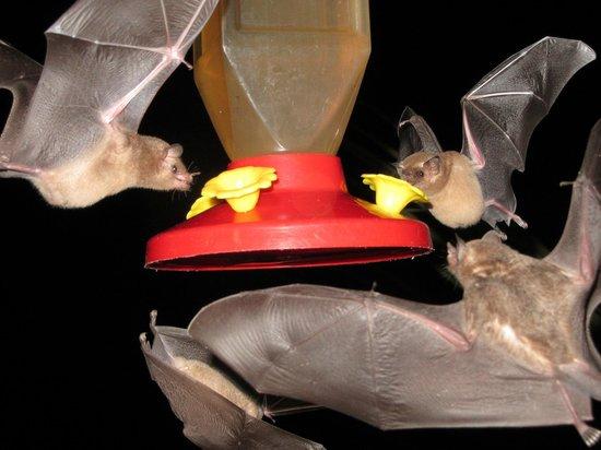 Deep Blue Resort Utila: beautiful fruit bats at night