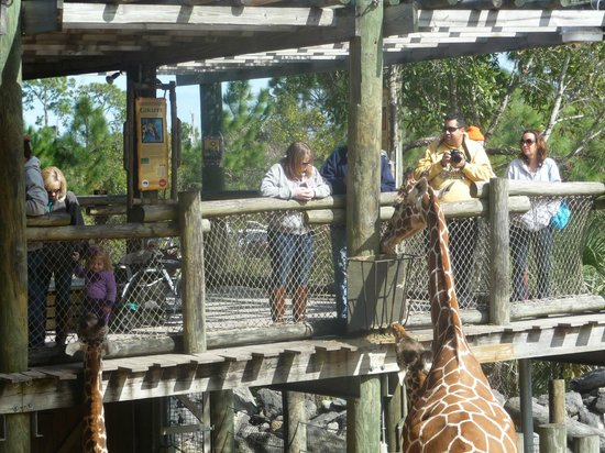 Brevard Zoo: Giraffe viewing and feeding