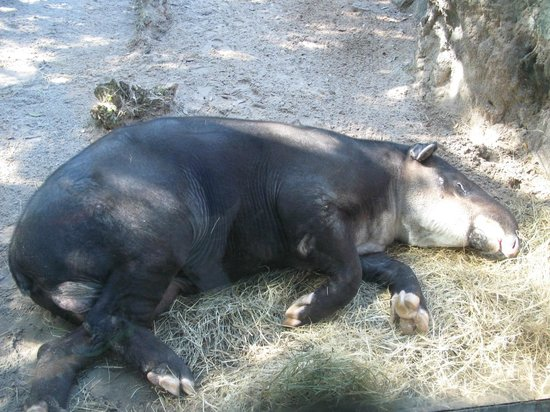 Jacksonville Zoo & Gardens : Baird's Tapir