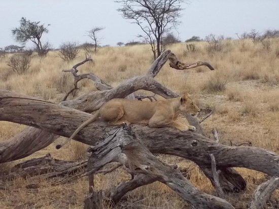 Ashnil Samburu Camp: Lioness near the camp