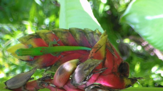 Hawaii Tropical Botanical Garden: Another lucky shot of a Gecko