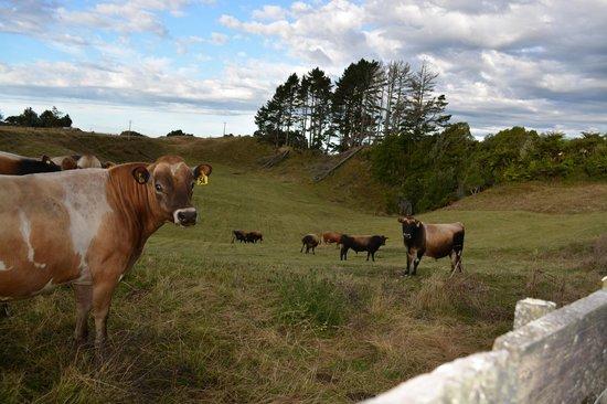Te Tiro : walking along the pasture...cows