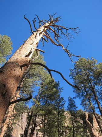 Bandelier National Monument: Tree on Fall Trail