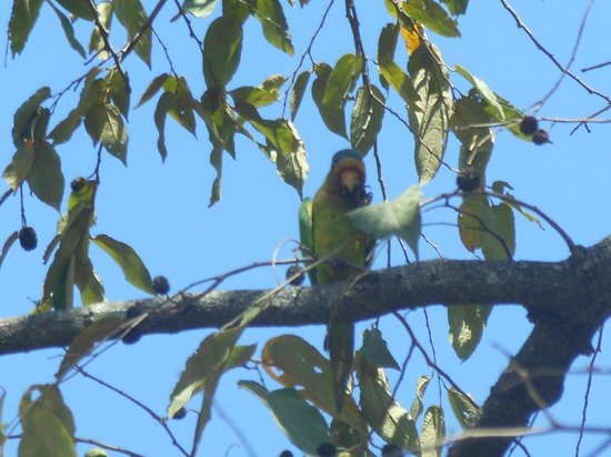 Allegro Papagayo: Red-lored parrot