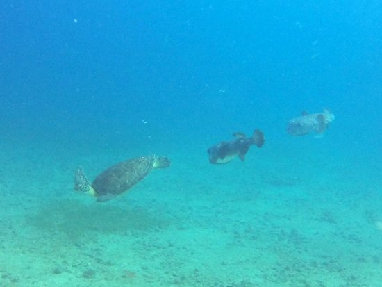 Kenneth's Dive Center: Turtle and porcupine fish
