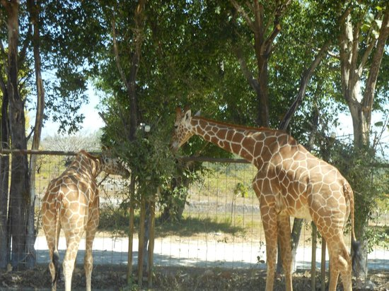 Ponderosa Adventure Park: Giraffes - get up close and very personal, try feeding them with the carrot from your mouth