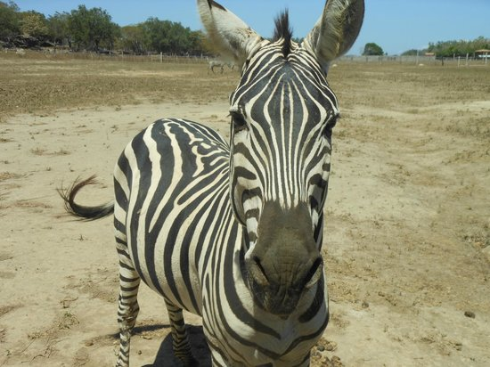 Ponderosa Adventure Park: Zebra - feed these from your vehicle, hands only