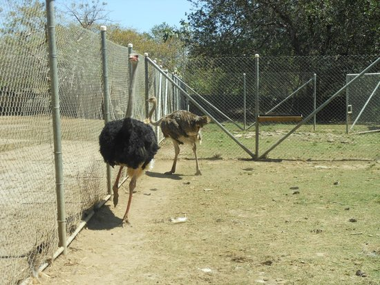 Ponderosa Adventure Park: Ostriches - with patience they'll swallow a carrot from you through the fence