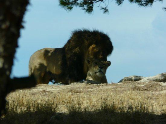 Reserve Africaine de Sigean: lion