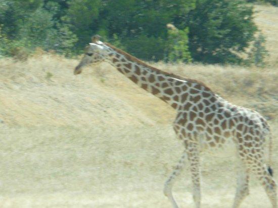 Reserve Africaine de Sigean : girafe