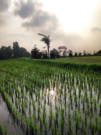 Puri Lumbung Cottages : rice fields on the hotel territory are amazing