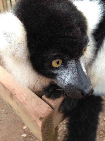 Safari Zoo: Lemur