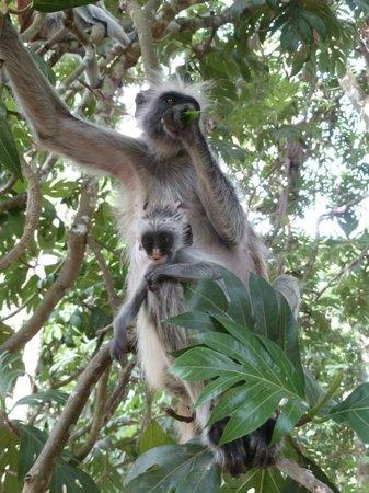 Jozani Forest Reserve : Baby monkey