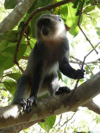 Jozani Forest Reserve : Les singes bleus