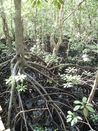 Jozani Forest Reserve : La Mangrove