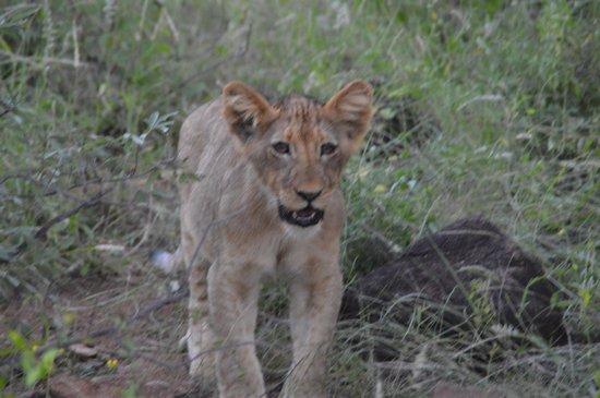 Sausage Tree Safari Camp : Lion cub