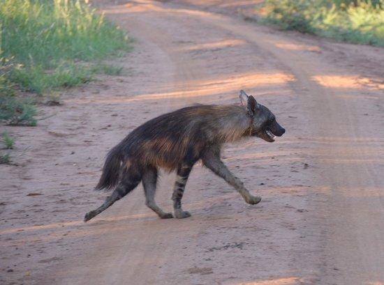 Sanctuary Makanyane Safari Lodge: Brown Hyena - always running away