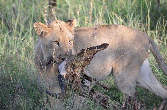 Sanctuary Makanyane Safari Lodge: Hungry Lions