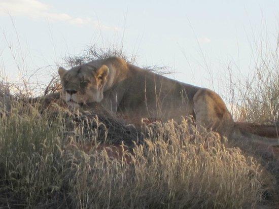 Zebra Kalahari Lodge: Lionne au repos