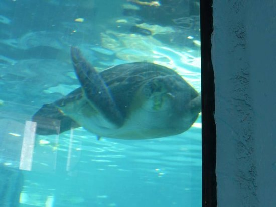Mote Marine Laboratory and Aquarium : Sea turtle