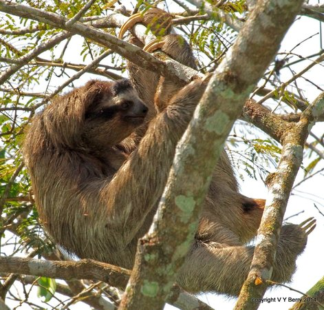 Canopy Tower : 3-toed sloth