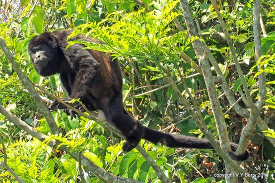 Canopy Tower: Howler monkey