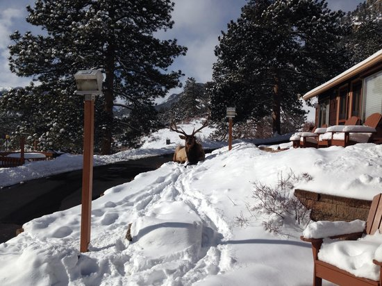 McGregor Mountain Lodge : Elk named Brat that frequents the lodge grounds