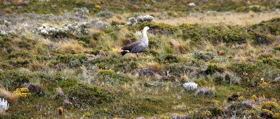 Faro Les Eclaireurs: Une oie dans la nature