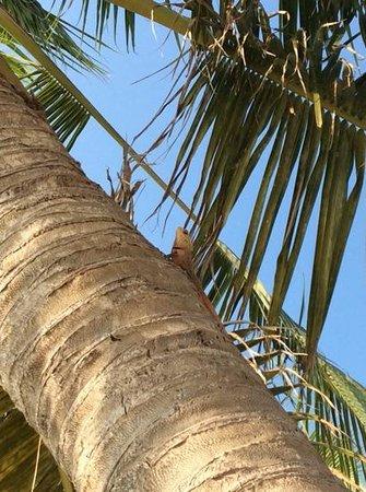 Centara Ras Fushi Resort & Spa Maldives : iguana