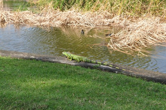 Boca Raton Resort, A Waldorf Astoria Resort: Iguana on golf course