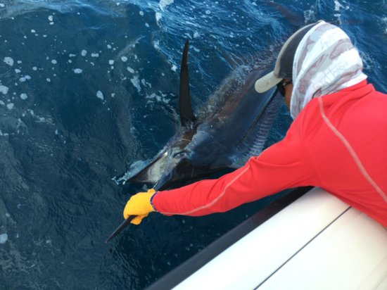 Come Fish Panama: deck hand Micheal unhooking a black marlin to set him free
