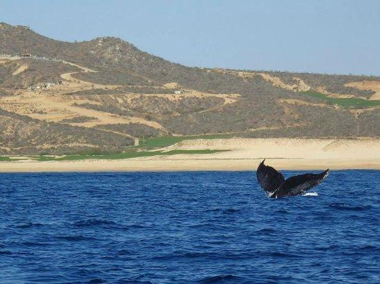 Cabo Adventures : Humpbacks!