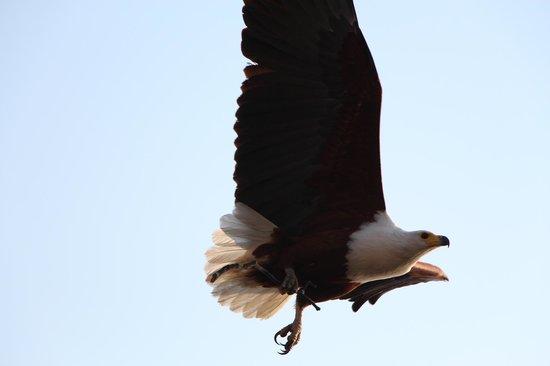 Chobe Bakwena Lodge: Special Fish eagle