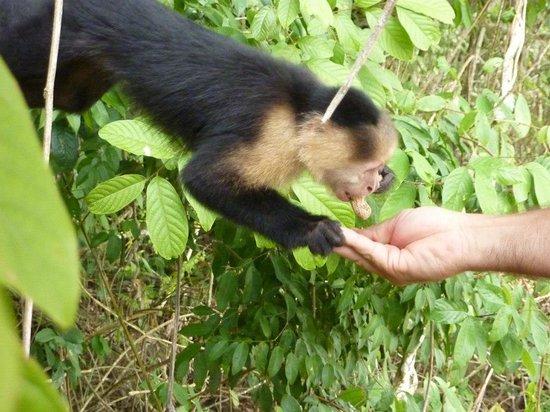 Jungle Land Panama: Day Excursions : Feeding monkeys
