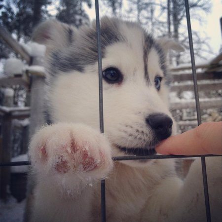 Saija Oy: Husky puppies