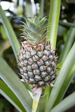 Encantada Ocean Cottages: Pineapples on Property