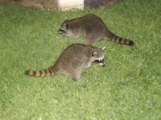 Grand Sirenis Riviera Maya Resort & Spa : little friends that come out at night