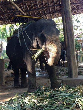 Kok Chang Safari Elephant Trekking: The Elephants pre-trek