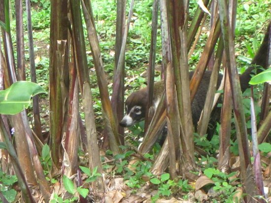 Curi Cancha Reserve : the pizote!! They have a long dark tail that sticks straight up (not captured in this photo)