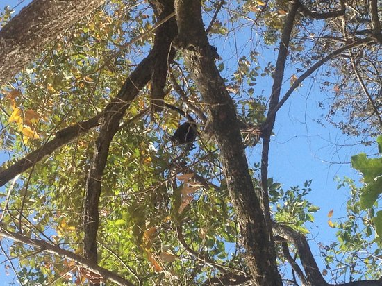 Lizard King Hotel Resort: Hard to see but there is a mama howler with her baby!!