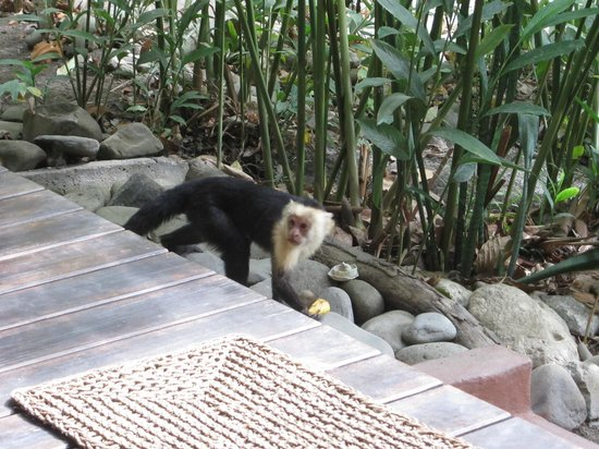 Hotel bungalows SolyLuna los Almendros.: our closet monkey friend