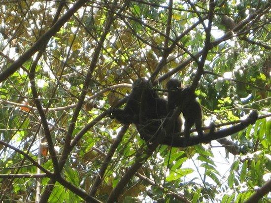 Hotel bungalows SolyLuna los Almendros.: howler monkey's (daily visitors)