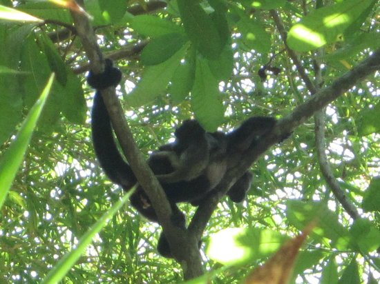 Hotel bungalows SolyLuna los Almendros.: more monkeys and their baby