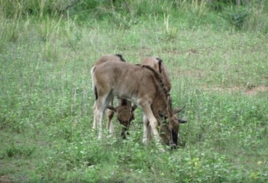 Pumula Lodge : Wildebeest Babies