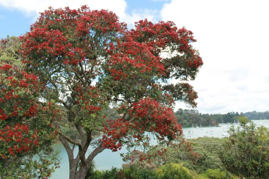 Arcadia Lodge: Our magnificent Pohutukawa tree, the NZ christmas tree, in bloom