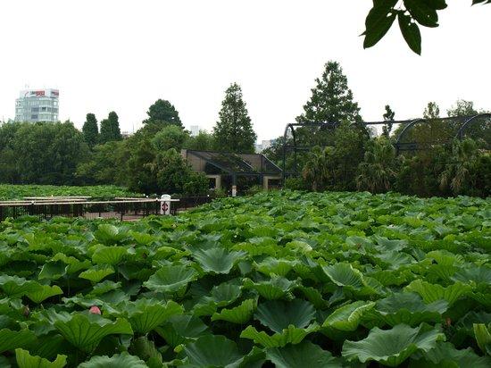 Nénuphars - Picture of Ueno Park, Taito - TripAdvisor