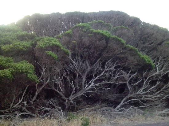 Cape Leeuwin Lighthouse: another artistic tree