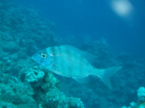 Red Sea Coral Reef Snorkeling at Ras Mohamed National Park with Lunch: EMPEREUR BLEUTE