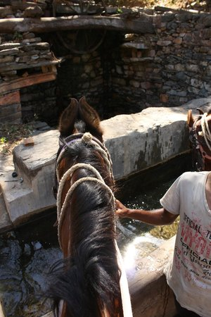 Krishna Ranch: Our trusty and safe Marwari horses stopping for a drink. This one is Sonya