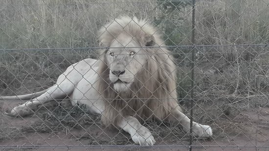 Tranquillity Day Spa & Lodge: The Lions